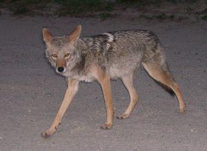 More Utah coyotes killed under state bounty program in 2015